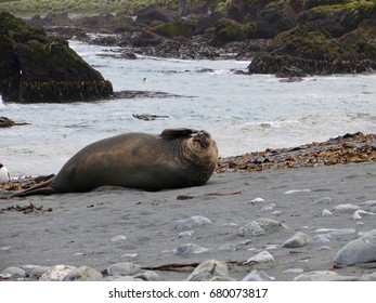 Elephant Seal mirounga leonina Macquarie Island