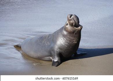 An Elephant Seal on the beach
