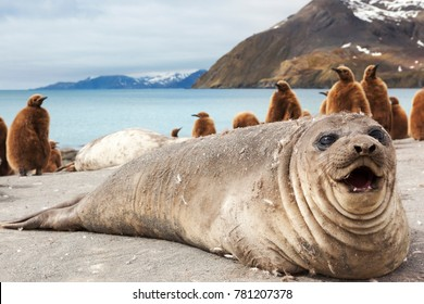 Elephant seal on the beach of South Georgia.