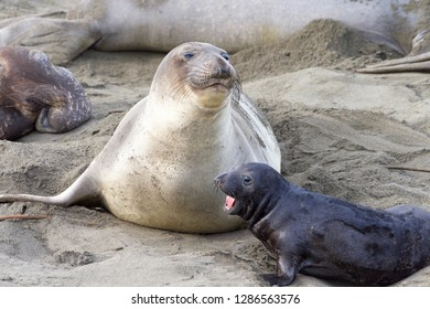 elephant seal pup next to mom. The mothers will fast and nurse up to 28 days, providing their pups with rich milk. Pups weigh 75 pounds at birth and gain approx 10 pounds a day nursing.