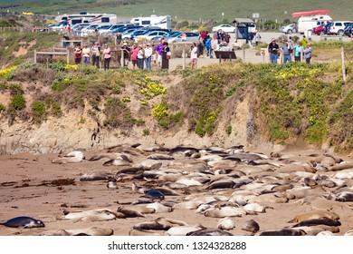 ELEPHANT SEAL VISTA POINT, SAN SIMEON, CA, USA - MAR 15, 2015: Cubs and females at Elephant Seal Vista Point off Highway 1 people watching on Mar 15, 2015 Elephant Seal Vista Point, California, USA