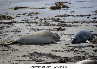Elephant seals along Highway 1 in California. Elephant seals resting on the beach.