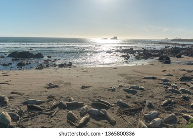 Elephant seals, mirounga angustinostris, group sleeping in the sand on late afternoon at Elephant Seal Vista Point, along Cabrillo Highway, Pacific California Coast, USA.