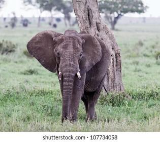 The elephant in Serengeti National Park - Tanzania, East Africa