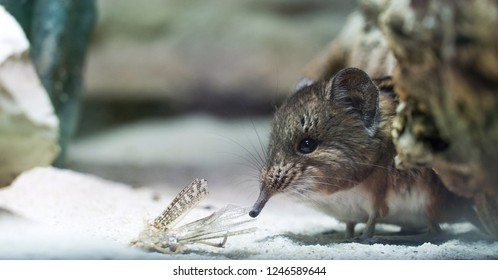 Elephant shrew with dead grasshopper