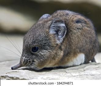 Elephant shrew. Latin name - Macrocelides proboscideus