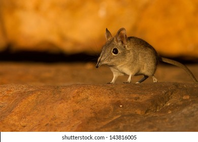 An elephant shrew is part of Africa's small five