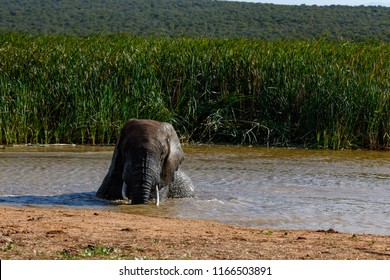 Elephant sitting in the dam with the long grass in the background