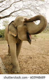 Elephant smiling happy in the morning in the fall