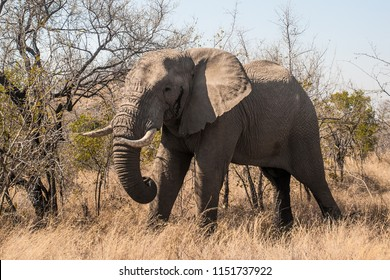 Elephant in South Luangwa National Park, Zambia. It is one of the greatest wildlife sanctuaries in the world. The concentration of animals around the Luangwa River is among the most intense in Africa.