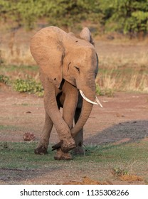 Elephant in the South Luangwa Valley, Zambia