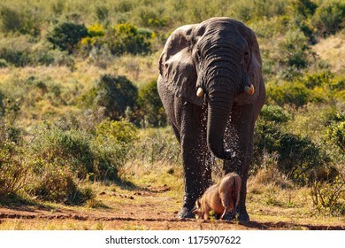 Elephant splashing the warthog with water in the field