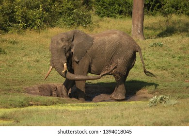An elephant spraying mud with their trunk