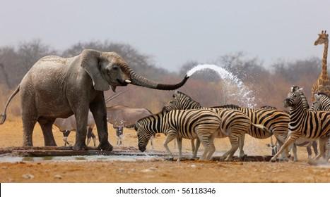 Elephant spraying zebras with water to keep them away from waterhole