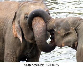 Elephant ,Sri Lanka