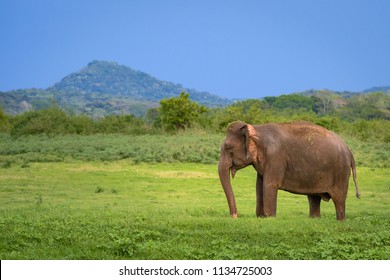Elephant in Sri Lanka. Solo young asian elephant in Minneriya National Park, Sri Lanka. Asian elephant eating grass with hill on background in National Park Minneriya, Sri Lanka.
