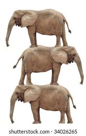 Elephant Stack: Elephant balancing act (photo composite). Isolated on white background