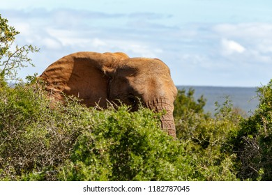 Elephant standing and hiding between the bushes in the field