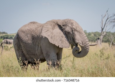 Elephant standing in high grass in the Chobe National Park, Botswana.