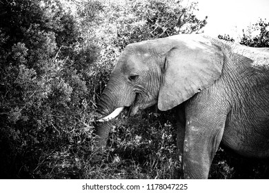 Elephant standing with his trunk in the bushes eating leaves