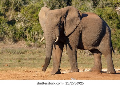 Elephant standing proud at the watering hole in the field