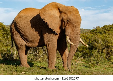 Elephant standing proudly with his trunk pointing to the ground in the field