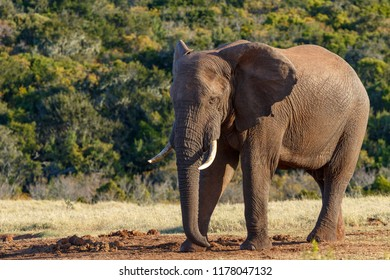 Elephant standing and staring at the ground in the field