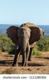 Elephant staring at you while he is standing with his feet and trunk in the watering hole