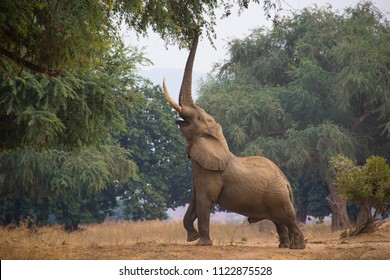 Elephant stretching to reach the seed pods