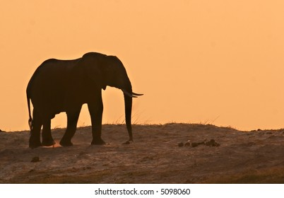 Elephant in the sunset on the Chobe Riverfront