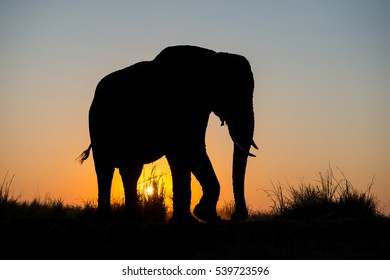 Elephant Sunset Silhouette in Chobe National Park, Botswana