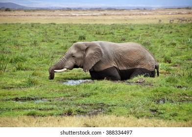 Elephant in swamp in Amboseli National Park, Kenya