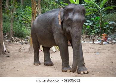 Elephant at Tad Sae Waterfalls, Luang Prabang, Laos