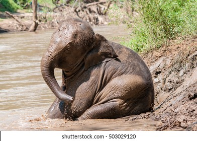 Elephant take a bath in the river.Thailand.