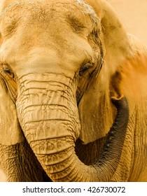 Elephant taking a sand bath