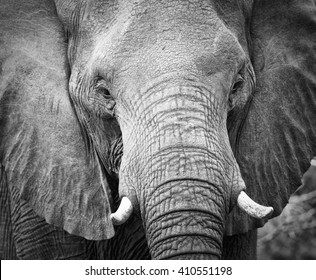 Elephant teeth and mouth close-up with detail in artistic conversion