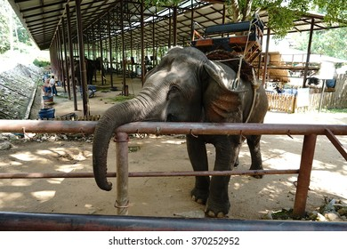 Elephant in Thailand elephant conservation center, Lampang province Looking for food