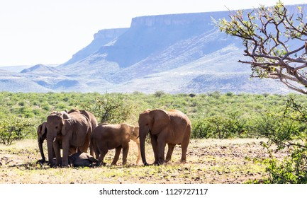 Elephant in their natural landscape of green, scrub, trees and grass, and hills in Damaraland, Namibia, Africa.