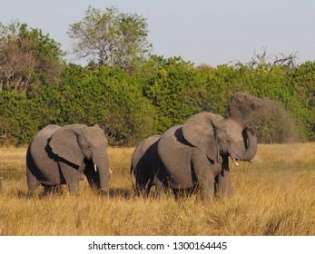 Elephant throwing Dust, Okavango Delta, Botswana