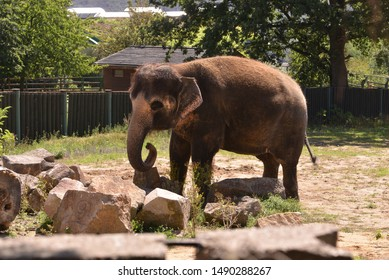 An elephant with its trunk in zoo.
