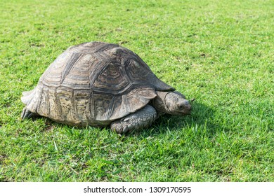 The elephant turtle on the grass.