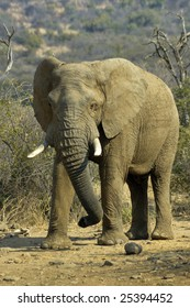 Elephant Tusker getting ready to charge