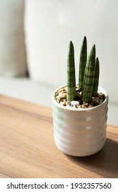 Elephant Tusks Plant or Sansevieria Stuckyi is indoor plant. The evergreen Elephant Tusks Plant is an ornamental one that grown in condo 's living room. Elephant Tusks plant and indoor plants concept.