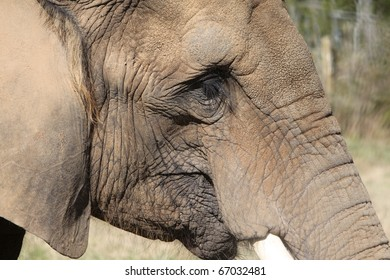 Elephant with tusks posing for photos