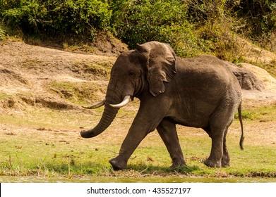 Elephant in Uganda, Africa