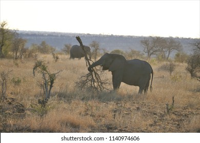 Elephant - uprooted tree
