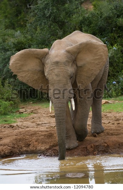 An Elephant uses its trunk to get to the water