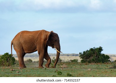 Elephant using his leg and trunk to scoop up a plant from the ground in the field.