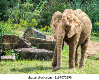 Elephant Walking Around