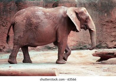 Elephant walking Atlanta zoo